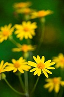 Close_up of yellow Daisies, North Carolina, USA