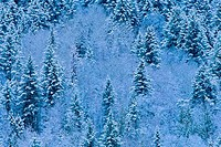 Snow covered trees in a forest, Mount Robson Provincial Park, British Columbia, Canada