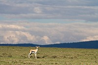 A single Thomsons gazelle (Gazella thomsoni) looking at the camera on the plains of the Serengeti National Park in Tanzania, Africa