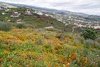 Magnificent nasturtium field, Estreito de Camara de Lobos, Madeira, Portugal