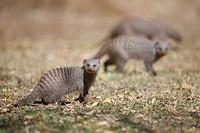 Banded Mongooses Mungos mungo, Pilanesberg Game Reserve, South Africa