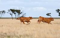 Running calves on a meadow near de Cockstorp,