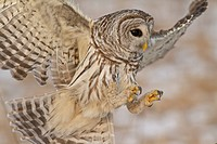 Barred Owl Strix varia hunting for prey.