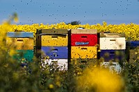 Colorful beehives in rape field, Sylt, Germany