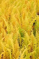 Hayscented fern Dennstaedtia punctilobula in autumn.