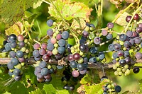 Grapes on the vine at Rossignol Estate Winery, Prince Edward Island, Canada.
