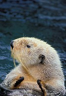 Sea Otter Enhydra lutris, summer, Pacific Coast, North America.
