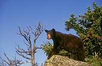 Black Bear Ursus americanus pauses on rock overhang to survey its surroundings, summer, Rocky Mountains, North America.