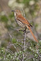Brown Thrasher Toxostoma rufum perched ona branch in Alberta, Canada.