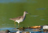 Wood sandpiper foraging, Tringa glareola, Europe