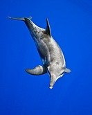 rough-toothed dolphin, Steno bredanensis, analyzing the photographer by using impulse-type click-type sonar for precise echolocation and imaging, Kona...