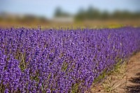 This landscape photo is stunning with a bright, big purple row of lavender herbs growing on a lavender farm Background is intentionally blurred for ar...