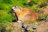 Alpine Marmot, Marmota marmota