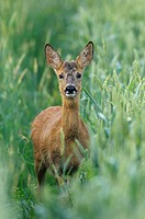 Roe buck (Capreolus capreolus) in grain field, Summer, Germany