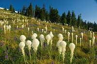 Beargrass Xerophyllum tenax bloom along Coffin Mountain Trail, Willamette National Forest, OR