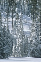 Snow covered trees in forest, California