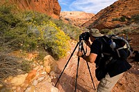 Photographer taking pictures of Rabbit Brush in bloom below red sandstone rock, Buckskin Gulch, Paria Canyon Vermilion Cliffs Wilderness, Utah