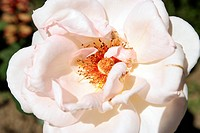 Closeup picture of beautiful rose