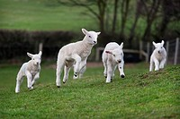 Ewe and Lambs March Norfolk