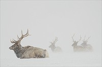 Adult elk hunkering down in a field during a snowstorm.