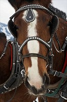 Draft horses of the Shire breed in Jackson Hole, Wyoming.