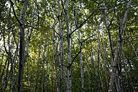 A view of birch trees in the Maine woods.