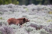 A young Grizzly stops to survey it´s surroundings in Grand Teton.
