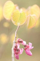 Close up of Redbud emerging in Spring in Yosemite.