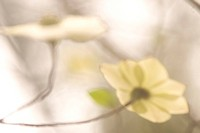 Artistic shot of flowers of the Pacific Dogwood tree in Spring.