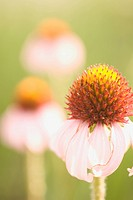 Close up of purple Coneflower plants shot in the grasslands.