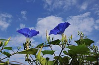 Morning glories, Chiba Prefecture, Honshu, Japan