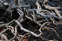 Tangled weave of roots on lava.
