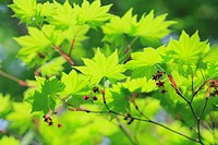 Maple leaves, close up