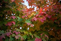 A close up of maple leaves in the process of changing color.