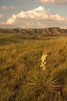 A Yucca plant grows on the Little Missouri National Grasslands.