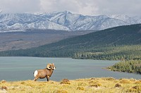 Bighorn Sheep and Lake Talbot
