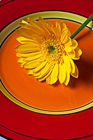 Yellow daisy on orange and red plate