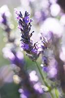 Lavender Lavandula