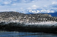 Cormorants on rocks near Beagle Channel and Bridges Islands, Ushuaia, southern Argentina