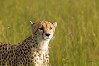 Cheetah stalking through high grasslands of Masai Mara near Little Governor´s camp in Kenya, Africa