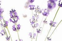 Lavender against white background, selective focus