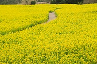 Rapa_blossoms Brassica rapa field, path, Japan
