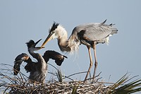 Great Blue Heron Ardea herodias preparing to feed its chick
