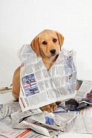 Yellow Labrador Puppy tearing up newspapers