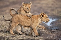 Lion (Panthera leo) cubs aged about 4 months playing together, Maasai Mara National Reserve, Kenya