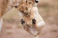 Lioness (Panthera leo) carrying her cub aged 2-3 months, Maasai Mara National Reserve, Kenya