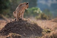 Lioness (Panthera leo) sitting on a termite mound, Maasai Mara National Reserve, Kenya