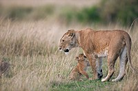 Lion (Panthera leo) cubs aged 2-3 months trying to get their mother's attention, Maasai Mara National Reserve, Kenya