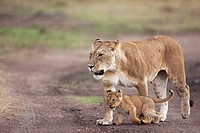 Lioness (Panthera leo) walking with playful 2-3 month old cub, Maasai Mara National Reserve, Kenya