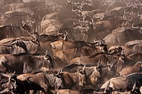 Eastern White-bearded Wildebeest (Connochaetes taurinus) herd waiting to cross the Mara River, Maasai Mara National Reserve, Kenya